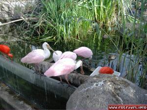 Pink spoonbills :)