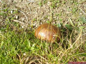 An interesting cute mushroom noticed near rocks.It looks like a golden egg,doesn't it?